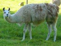 На Арабатской стрелке у местной жительницы с. Счастливцево пропала лама!!!