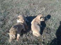 В Сафари-парке на Арабатской стрелке родились трое редких львов