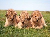 В Интернете появились фото родившихся на Арабатской стрелке львят