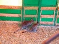 На Арабатской стрелке в Сафари - парке появились новые животные,кенгуру из Голандии