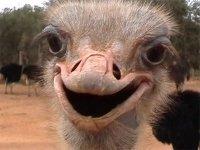 В сафари-парке на Арабатской стрелке вылупились пять страусят
